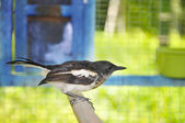 Magpie Talking — Foto Stock