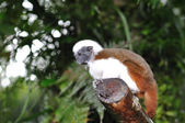 Cotton-top tamarin in a branch. — Stock Photo