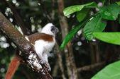 Cotton-top tamarin (Saguinus oedipus) in a branch — Stock Photo