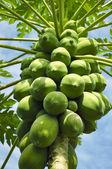 パパイヤの木 — ストック写真