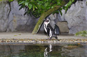 Humboldt Penguin, Spheniscus humboldti — Stock Photo