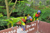 Loris arco-íris — Fotografia Stock