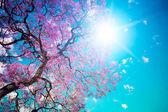 Güneş sakura — Stok fotoğraf