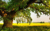 Tree in a meadow — Stock Photo