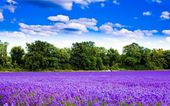 Purple flowers under a blue sky — Stock Photo