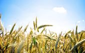 Wheat under the blue sky — Stock Photo