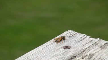 Yellow Jacket Wasp turns around and flies away — Stock Video