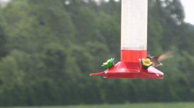 Hummingbird Feeding from Feeder — Stock Video