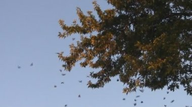Monarch Butterfly Migration Colony — Stock Video