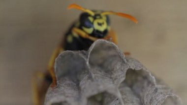 Yellow Jacket Wasp tends to eggs in nest — Stock Video