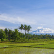 Asian rice field landscape in Indonesia — Stock Photo