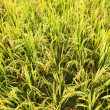 Close-up green rice field — Foto Stock