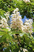 Blooming Chestnut — Stock Photo