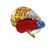 Derma insan beyni — Stok fotoğraf