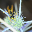 European Paper Wasp — Stock Photo