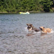 Two dogs playing in the lake — Stock Photo
