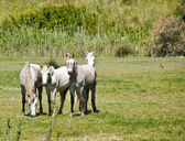 Horses Carmague — Stock Photo