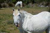Horse -Carmague — Stock Photo