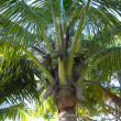Stock Photo: Coco palm
