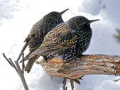 Sturnus vulgaris - starling european — Stock Photo