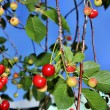 Ripe cherries — Stockfoto
