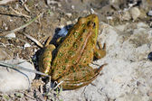 Green spotted frog — Stock Photo