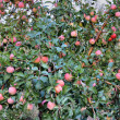 Stock Photo: Tree with red apples