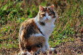 Beautiful tri-color cat sits on nature — Stock Photo
