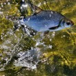 Fish bream in the water — Stok fotoğraf