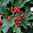 Stock Photo: Bunch of Viburnum