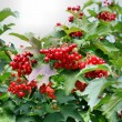 Stock Photo: Berries of red Viburnum