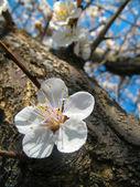 Fiore di ciliegio — Foto Stock
