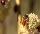 Bee at the flower — Stock Photo