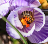 Bee in flower — Stock Photo