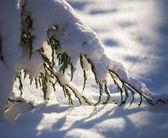 Juniper branch in the snow — Stock Photo