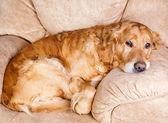 Golden retriever hund — Stockfoto