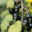 Stock Video: Blackcurrant, sow thistle and lupine