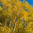 Poplar and birch grove in autumn — Stock Photo