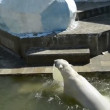 Stock Video: A polar bear jumps into the water