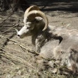 Argali in the zoo - Stock Photo