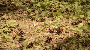 Background pine cones on green grass — Stock Video