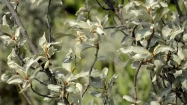 Buckthorn bush — Stock Video