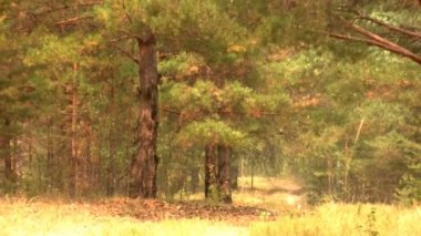 View of the beautiful pine forest — Stock Video