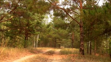 The road in the pine forest — Stock Video