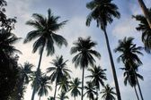 The tops of palm trees. — Stockfoto