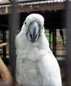 Large white cockatoo sitting on a branch. — Stock Photo