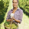Vintner picking grapes in vineyard — Stock Photo #13273900
