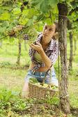 Harvesting the grape — Stock Photo