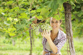 Harvesting the grape — Stock Photo
