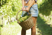 Vintner picking grapes in a vineyard — Stock Photo